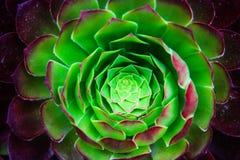 Закройте вверх succulent Стоковое Изображение RF