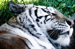 Закройте вверх tiger& x27 спать; сторона s Стоковые Фотографии RF