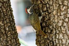 Закройте вверх woodpecker Nubian Стоковые Фотографии RF