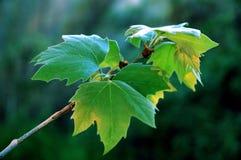 закройте зеленые листья вверх Стоковые Изображения