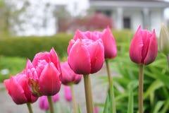 Закройте на красных тюльпанах Стоковые Изображения RF