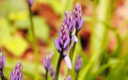 Закройте на фиолетовом цветке вики кроны Стоковое фото RF