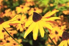 Закройте на яркой желтой маргаритке Стоковые Изображения