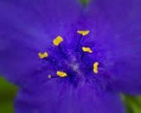 закройте пурпур цветка вверх Стоковые Фото