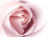 закройте розовое розовое поднимающее вверх Стоковые Фотографии RF