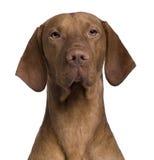 закройте собаку вверх по vizla Стоковое Изображение