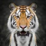 закройте тигра стороны вверх Стоковая Фотография