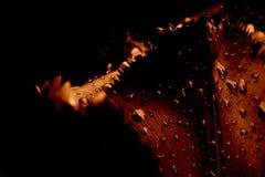 закройте тюльпан дождя вверх Стоковое фото RF