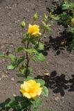 2 закрыли бутоны и 2 желтых цветка подняли Стоковое Фото