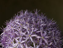 закрынная предпосылка лукабатуна другая создающ головки цветка зеленые раскрывает пурпур картины цветет пурпуровая текстура Лето Стоковое Изображение