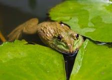Закрыно вверх лягушки стоковые фотографии rf