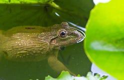 Закрыно вверх лягушки стоковое фото rf