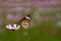 Закрыно вверх по хризантеме с бабочкой стоковые изображения
