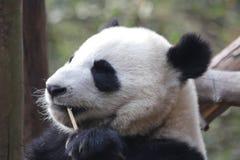Закрытая-вверх пушистая гигантская панда ест бамбуковые листья с ее Cub, Чэнду, Китаем Стоковые Изображения RF