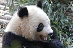 Закрытая-вверх пушистая гигантская панда ест бамбуковые листья с ее Cub, Чэнду, Китаем Стоковая Фотография