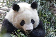 Закрытая-вверх пушистая гигантская панда ест бамбуковые листья с ее Cub, Чэнду, Китаем Стоковое Изображение