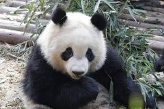 Закрытая-вверх пушистая гигантская панда ест бамбуковые листья с ее Cub, Чэнду, Китаем Стоковые Фото