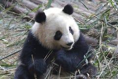 Закрытая-вверх пушистая гигантская панда ест бамбуковые листья с ее Cub, Чэнду, Китаем Стоковые Изображения