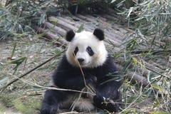 Закрытая-вверх пушистая гигантская панда ест бамбуковые листья с ее Cub, Чэнду, Китаем Стоковые Фотографии RF