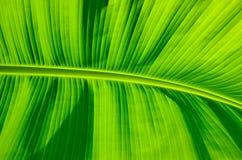 Закрытые-Вверх лист банана Стоковое Изображение RF