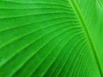 Закрытые-Вверх лист банана Стоковая Фотография RF