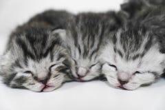Закрытые глаза котят спать striped newborn Стоковые Изображения RF
