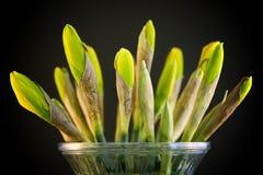 закрытые daffodils стоковые фотографии rf