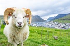 Закрытый вверх белого штосселя в ферме земледелия овец с зелеными gras стоковые изображения