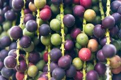 Закрытый вверх на плодоовощ ладони Стоковые Фотографии RF