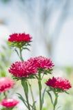 Закрытый вверх по красному цветку Стоковая Фотография