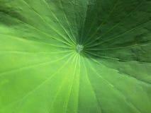 Закрытый вверх по лист лотоса Стоковая Фотография