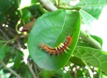 Закрытый вверх по меньшей оранжевой гусенице взбираясь на ярких ых-зелен лист Стоковое Фото
