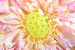 Закрытый вверх по семенам лотоса с blossoming лепестками Стоковое Изображение RF