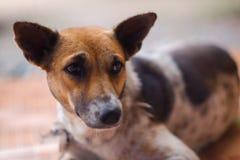 Закрытый вверх по тайским цветам собаки коричневым и белым спите на коричневом поле стоковая фотография