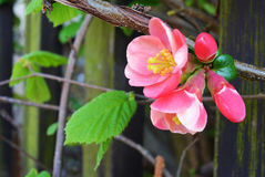Закрытый вверх розового цветения на день ветви весной Стоковое Фото