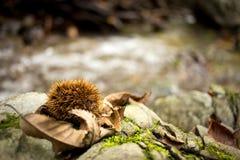 Закрытый каштан лежа рядом с потоком леса Стоковая Фотография RF