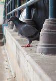 Закрытый до темного голубя Стоковая Фотография