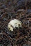 Закрытый процесс гриба muscaria мухомора растущий Стоковые Изображения