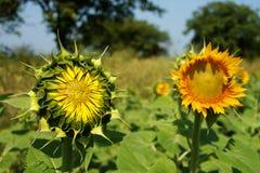 закрытый растущий солнцецвет Стоковое фото RF