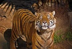 закрытый тигр глаз стоковая фотография rf