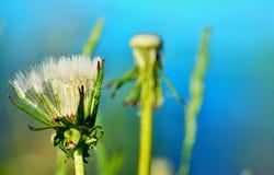 Закрытый цветок конца одуванчика вверх Стоковое Изображение RF