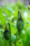 Закрытый цветок мака бутона 2 Стоковые Фото