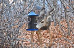 Закуска оленей на фидере птицы стоковые изображения rf