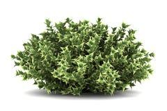 залаянная белизна bush изолированная dogwood красная Стоковое Фото