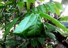 Зала лист муравьев ткача grean стоковая фотография rf