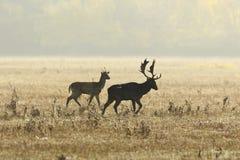 Залежные олени в брачном периоде на луге Стоковое Фото