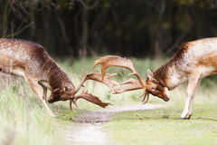 Залежные олени Стоковое Изображение