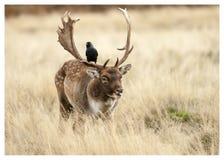 Залежные олени Стоковое Фото