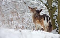 Залежные олени Стоковая Фотография