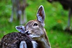 Залежные олени - dama Dama Стоковые Фотографии RF
